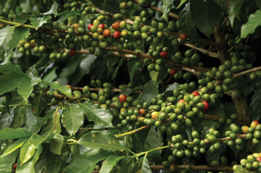 CoffeeCherries